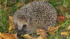 a hedgehog in grass